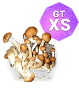 Golden Teacher Growkit – XS